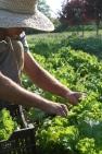 Jon harvesting Green Wave Mustard