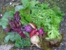 WEEK 5 CSA: Peas, Beet Greens, Swiss Chard, Lettuces, Kale, Radishes, Turnips, Kohlrabi, Tatsoi and Garlic Scapes