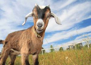 goat pic