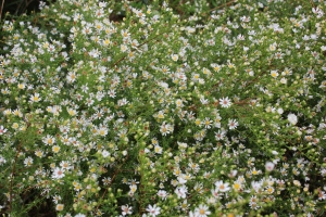 White Asters: Flowers have a delicious sharpness. The entire plant can also be dried and turned into a flour.