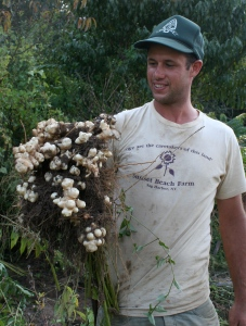 Sunchokes (Jerusalem artichokes) with our Farmer, Jon